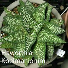 Haworthia koelmaniorum