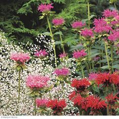 Monarda hybrids A staple in butterfly gardens, bee balm's bright flowers attract bees and butterflies by the hundreds. When it starts to fad...