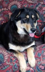Bear SPONSORS NEEDED is an adopted German Shepherd Dog Dog in Arlington, VA. If you are interested in adopting this dog, please fill out our dog adoption questionnaire and e-mail it to gopfarmgirl@yah...