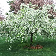 "Red Jade crabapple tree in bloom in the spring.  Weeping 15', pink buds open white.  Glossy red 1/2"" diameter fruit that birds like."