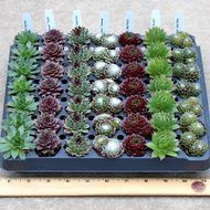 Sempervivum (Hens and Chicks) 49 Plug Tray - 7 Varieties - Spring Colors