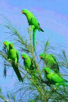 Ring Necks Parrots
