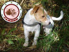 Peritas the Jack Russell Terrier looking left in the woods