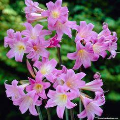 Pink Belladonna Lily or Naked Ladies, Amaryllis belladonna, Belladonna Lily or Naked Ladies