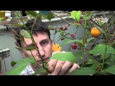 Как формировать комнатный лимон и другие цитрусовые - YouTube Indoor Plants, Youtube, Garden, Oven, Inside Plants, Garten, Lawn And Garden, Gardens, Ovens