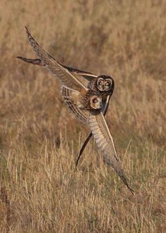 Wow! Owls in flight❤️❤️