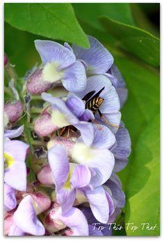 Bee enjoying the Wisteria