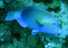 Did you see any Parrotfish while snorkeling in Hawaii? They're everywhere!!