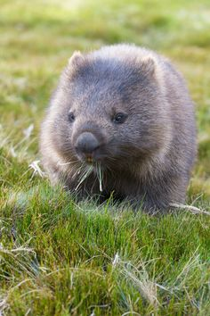 A wombat munches on grass in Cradle Mountain-Lake St Clair National Park, a place of heathlands, alpine forest and rock stretching for 600 square miles on the Australian island of Tasmania // photo by Catherine Sutherland Animals For Kids, Animals And Pets, Baby Animals, Funny Animals, Cute Animals, Cute Wombat, Baby Wombat, Wombat Pictures, Animal Pictures