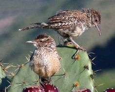 Cactus Wren  can be found at Rockhound State Park which is part of the SW NM Birding Trail