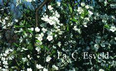 Prunus cerasifera 'Pamir Red' wit bloeiende kleine kersenpruim met kleine, maar lekkere vruchten. Voor de 'meidoorn-haag'. Te koop bij Arborealis.nl