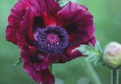 wanna cover my gerber daisy tattoo with this purple poppy