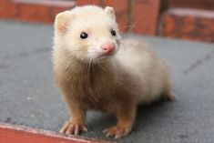 White Ferret | ... white undercoat with light brown guard hairs. Nose is pink. Eye colour