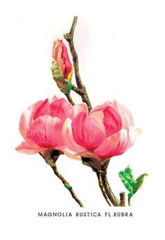 Magnolia Rustica: Fl. Rubra, by H.G. Moon