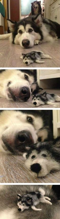 No, That's Not A Husky Doll. Or A Husky Puppy... You'll Never Guess What It Actually Is. [STORY] #dogsandpuppieshusky
