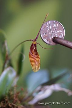 This Restrepia antennifera flower opened a couple of days ago.  I have photographed the flower with a British five-pence piece, so you can clearly gauge the size of the bloom.  Pictured on the 2nd October 2016.