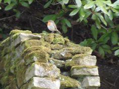 Robin on mossy wall.