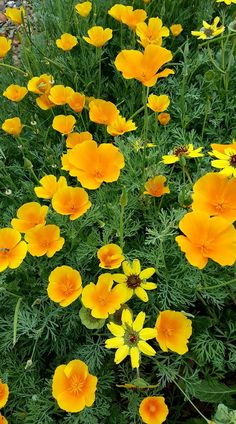 California state flower the golden poppy color yellow california state flower the golden poppy color yellow pinterest tattoo tatt and geometry tattoo mightylinksfo