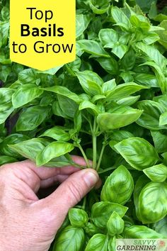 Did you know there are dozens of different types of basils? How do you know which will give you the best flavor and the biggest harvests? This rundown of several of the top types of basils will help you choose the best basil for your garden. Diy Herb Garden, Herb Garden Design, Vegetable Garden Design, Garden Ideas, Vegetable Gardening, Growing Lemon Balm, Types Of Basil, How To Grow Lemon, Edging Plants