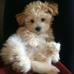 Image result for maltipoo haircuts