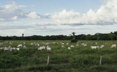 O que acontece com áreas desmatadas na Amazônia? A maior parte vira pasto. Inpe e Embrapa divulgaram novo estudo mostrando o que acontece depois do desmatamento. A boa notícia é que aumentou a área de floresta sendo regenerada