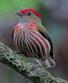 A Striped Manakin, a small South American birdie