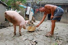 Chinese man serves his 'Strong-Willed Pig' supper