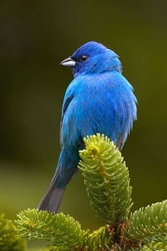 The indigo bunting (Passerina cyanea) is a small seed-eating bird in the family…