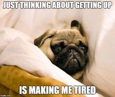 8 funny pug memes More