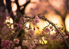 overwrought pink cherry sunset