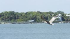 Pelican flying low as he fishes for his lunch #discovermartin