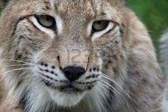 bobcat: North European lynx in a croatian zoo