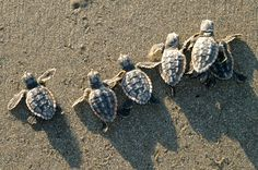 watch baby sea turtles hatch and make their way home to the ocean Baby Sea Turtles, Cute Turtles, Animals And Pets, Baby Animals, Cute Animals, Exotic Animals, Beautiful Creatures, Animals Beautiful, Tortoise Turtle