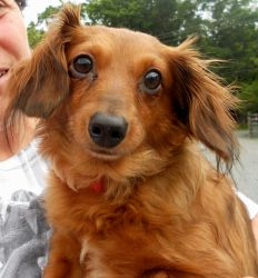 Gizmo is an adoptable Dachshund Dog in Spring Lake, NJ. Meet Gizmo, a sweet, sable colored, long haired dachshund who is 4 years old. Neutered and up-to-date on his shots, he is ready to go to his f...