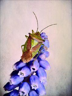 Hawthorn  Shield bug. by bri curtis on 500px