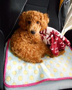 "Toy poodle ""Shotaro"" so cute!!"