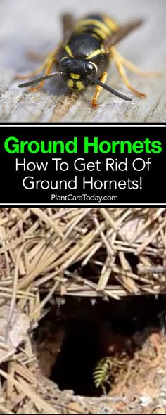 Ground hornets can deliver a dangerous sting, are ferocious predators, feeding on beneficial insects important to the garden eco-system. [LEARN MORE]