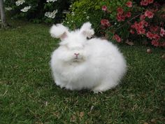 IAGARB GUIDELINES FOR STANDARDS OF GERMAN ANGORA RABBIT CAREBy Alexis Woodbury Reprinted with permission from IAGARB: www.iagarb.com PRIMARY HOUSING: 1. Construction. Buildings or structures where …