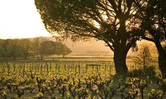 A vineyard at sunset near Vidauban, Provence, France