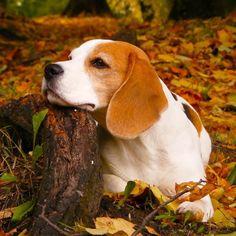 Beagle in Park Beautiful Beagles, Autumn Forests, Beagles Animal ... #BeagleCute