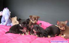 Chihuahua, Happy, Dogs, Animals, Animales, Animaux, Pet Dogs, Ser Feliz, Doggies