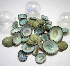 "Beach decor seashells - nautical decor aqua limpet shells for beach decor, crafts or candlescaping. These very cool green limpets are so unique- shiny, very green, spotted, and very textural on the inside! Use these cool shells for craft projects, surrounding a candle along with some beach glass and shells, or even just in a jar showing off their natural beauty! Collection of 36, sized from 1/2"" to 1.5"". My photos are stock photos. Being objects of nature, each item will be unique and…"