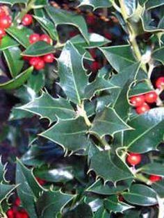 Ilex aquifolium 'Alaska' / Europäische Stechpalme 'Alaska'