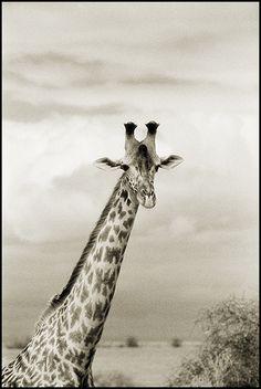 Giraffe in Lake Manyara, Tanzania