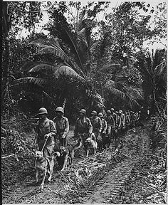 A long line of Marine Raiders with their dogs, on Bougainville, November, 1943.