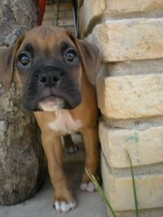 Boxer puppy, sweet face