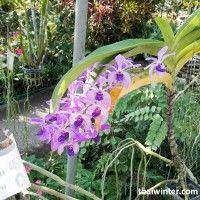 Thailand_Orchids_02