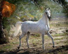 Beautiful SHAHRAZAD EL GABRY (Jamil Al Rayyan x Shahd El Gabry by El Basha Sakr) Saqlawiyah Jidraniyah (Ibn Sudan branch) - Ghazieh line  Photography by Emma Maxwell