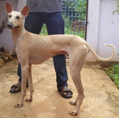Kannidog or Chippiparai is an old rare Sighthound breed from the south of India. Traditionally they were gifted by the bridegroom to her husband. Still today they are not sold but gifted to someone who has shown they can take good care of the dog. Efforts are being made to keep the breed around as it was reaching extinction.