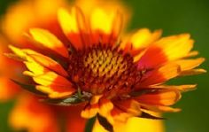 Yellow to Orange Perennial Flowers | HowStuffWorks